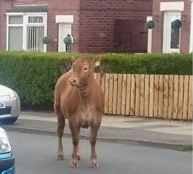 redwire-singapore-bessie-the-cow-2